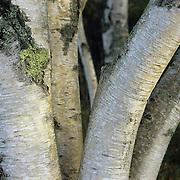 Graceful birch trunks in Acadia National park, Maine.