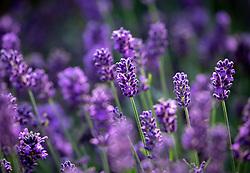 Lavandula angustifolia SuperBlue. Lavender