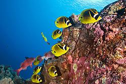 Raccoon Butterflyfish, Chaetodon lunula, Kona, Big Island, Hawaii, Pacific Ocean