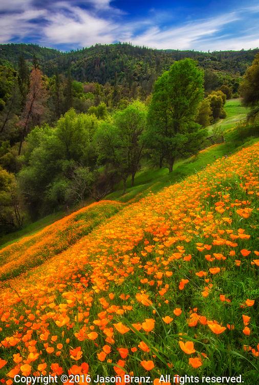 Hillside of California Poppies in the Sierra Nevada foothills near Coloma, California.