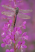 Two Dragonflies on the flower of a fireweed branch.