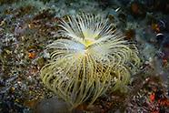 Mediterranean fanworm (Sabella spallanzanii)