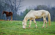 Horses grazing at Shelby Farms Memphis TN.