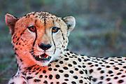 A male cheetah (Acinonyx jubatus) close-up portrait in evening light showing his sharp canine teeth, Masai Mara, Kenya,Africa