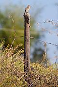 Common Babbler bird on fencepost at Chattra Sagar nature reserve at Nimaj, Rajasthan, Northern India