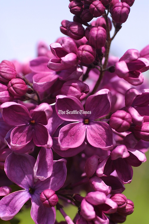 The Hulda Klager Lilac Gardens in Woodland Washington are in full bloom. Just in time for the annual Lilac Festival that begins in April and ends on Mother's Day. (Mike Siegel / The Seattle Times)