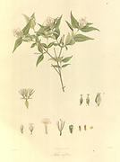 Abelia triflora From Plantae Asiaticae rariores, or, Descriptions and figures of a select number of unpublished East Indian plants Volume 1 by N. Wallich. Nathaniel Wolff Wallich FRS FRSE (28 January 1786 – 28 April 1854) was a surgeon and botanist of Danish origin who worked in India, initially in the Danish settlement near Calcutta and later for the Danish East India Company and the British East India Company. He was involved in the early development of the Calcutta Botanical Garden, describing many new plant species and developing a large herbarium collection which was distributed to collections in Europe. Several of the plants that he collected were named after him. Published in London in 1830