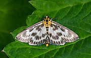 Close-up of a Small magpie moth (Anania hortulata) resting with open wings on a leaf in a Norfolk garden in summer.