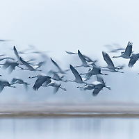 Flaying cranes in the spring morning