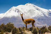 A guanaco (lama guanaco), a camelid native to South America, stands on the altiplano in front of a snow-capped mountain,Chilean Andes, Chile,South America