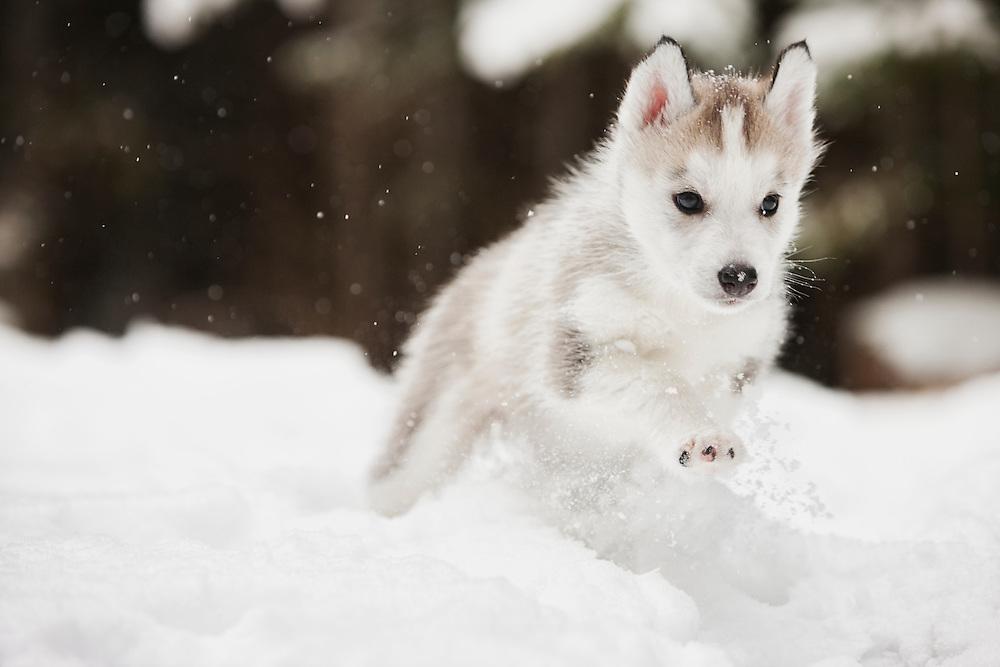 Siberian Husky Puppy running in the snow