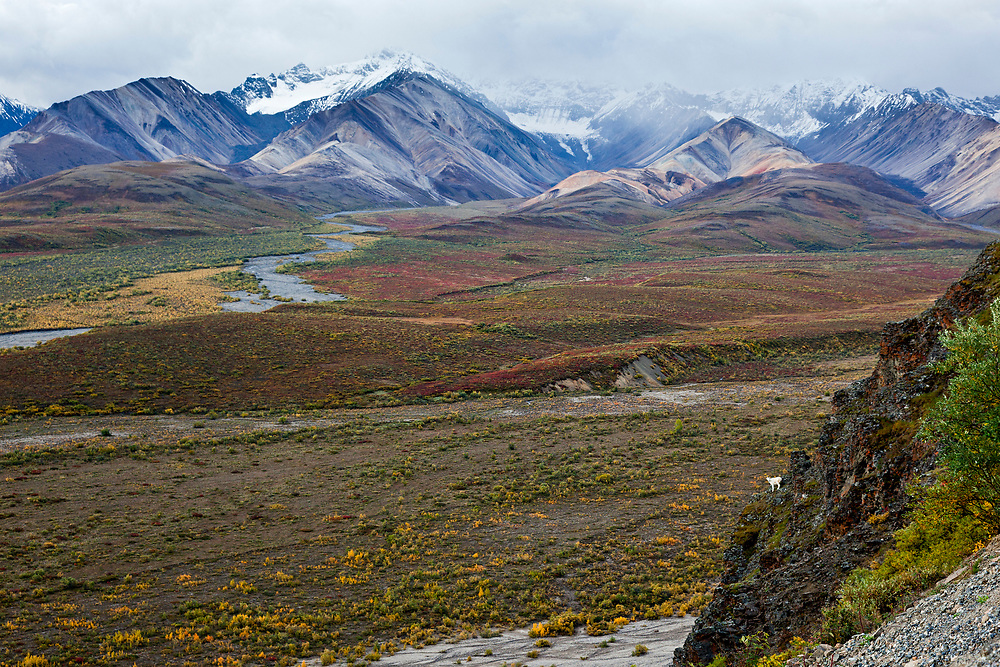 Alaska.  Subtle fall colors of red and yellow paint the low foliage in the expanse between Polychrome Pass and the Alaska Range in Denali National Park in August while a young Dall Sheep ram (Ovis dalli) casually stands on a small shelf of a vertical rock outcrop in the lower right foreground.  Heavy clouds obscure parts of the tallest snow-covered peaks in the background.