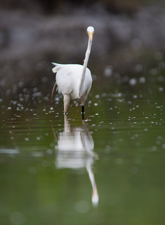 An egret - rare in the river during nesting season - fishes in a tidal creek in a marsh of the May River.