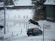 "THIS moose showed off some nifty moo-ves as it appears to leap over a CAR.<br /> <br /> The beast was startled by the Volvo as it drove round a tight bend — and jumped with fright in one effortless bound.<br /> The animal was snapped by 15-year-old Tove Sjöholm Mute, near Rolfstorp, Sweden, as she ate her breakfast at home.<br /> Tove, who was with her younger brother Anders, said there were three moose but the others scarpered before the car arrived.<br /> Tove, who took her picture at just the right time, said: ""I am no expert, but I think they were a mother, a calf from last year and another calf from the year before.<br /> ""The moose walked around the family and a neighbour's farm, before they crossed the road. Several cars had to stop in order not to run into the animals.<br /> ""When the last car came, the mother moose had to do a fast leap. It's like it jumped right over the car.<br /> ""It must have given the driver a real scare.""<br /> ©Exclusivepix"