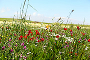 Wildflowers blooming on the Golan Heights, Israel Photographed in Spring May
