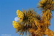 Jumping Cholla Cactus in Joshua Tree National Partk in California