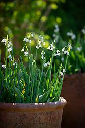 Terracotta pots of  Leucojum aestivum - Summer snowflake, Loddon lily