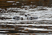Harbor Seals, Phoca vitulina, rest in the shallows of Quadra Island, British Columbia, Canada.