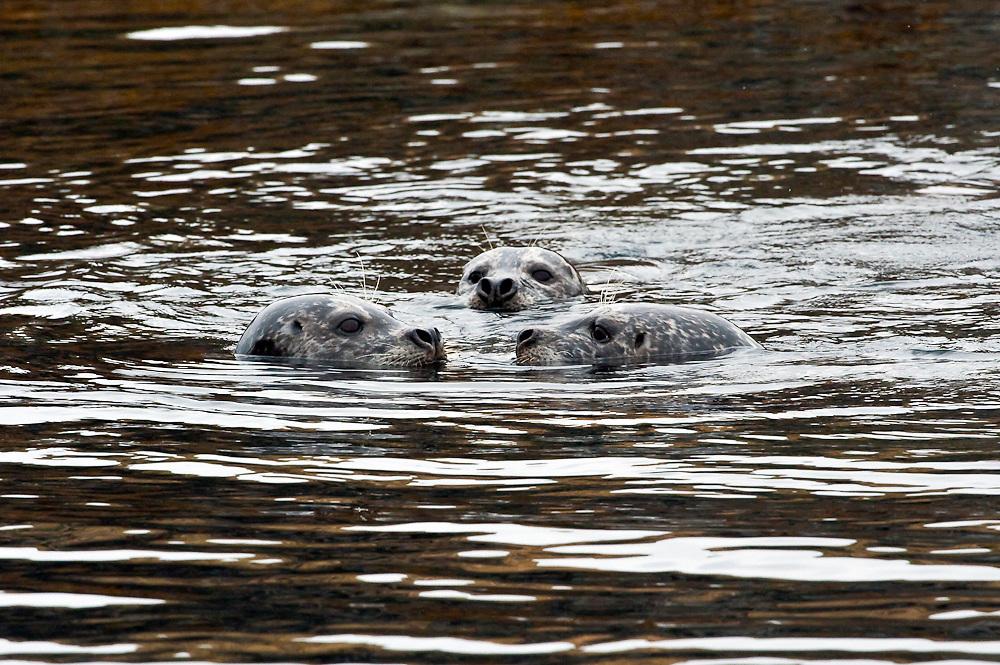 Harbor Seals, Phoca vitulina, rest in the shallows of Quadra Island, British Columbia, Canada.