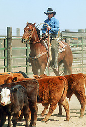 cowboy working on a cattle ranch in Texas