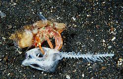 Dardanus pedunculatus, Einsiedlerkrebs frißt toten Anglerfisch, hermit crab eating dead fish, Lembeh Strait, Lembeh Strait, Sulawesi, Indonesia, Indian Ocean