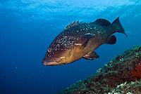 Dusky Grouper (Epinephelus marginatus) - 'endangered' in IUCN Red List<br /> France: Corsica, Lavezzi Islands, Cala di Grecu