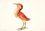 The cinnamon bittern or chestnut bittern (Ixobrychus cinnamomeus) is a small Old World bittern, breeding in tropical and subtropical Asia from India east to China and Indonesia. It is mainly resident, but some northern birds migrate short distances. 18th century watercolor painting by Elizabeth Gwillim. Lady Elizabeth Symonds Gwillim (21 April 1763 – 21 December 1807) was an artist married to Sir Henry Gwillim, Puisne Judge at the Madras high court until 1808. Lady Gwillim painted a series of about 200 watercolours of Indian birds. Produced about 20 years before John James Audubon, her work has been acclaimed for its accuracy and natural postures as they were drawn from observations of the birds in life. She also painted fishes and flowers. McGill University Library and Archives