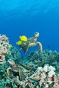 green sea turtles, Chelonia mydas ( Threatened Species in Hawaii; Endangered elsewhere), being cleaned of algae by yellow tangs, Zebrasoma flavescens ( herbivorous surgeonfish ), Puako, Kona, Hawaii, U.S.A. ( Central Pacific Ocean )