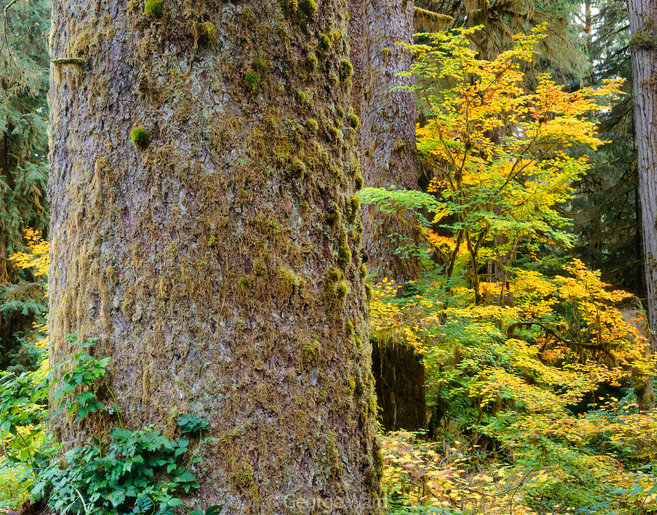Old-growth Sitka Spruceand Vine Maple, Hoh Rain Forest,Olympic National Park, Washington