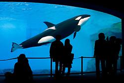 orca, Orcinus orca,  and aquarium visitors