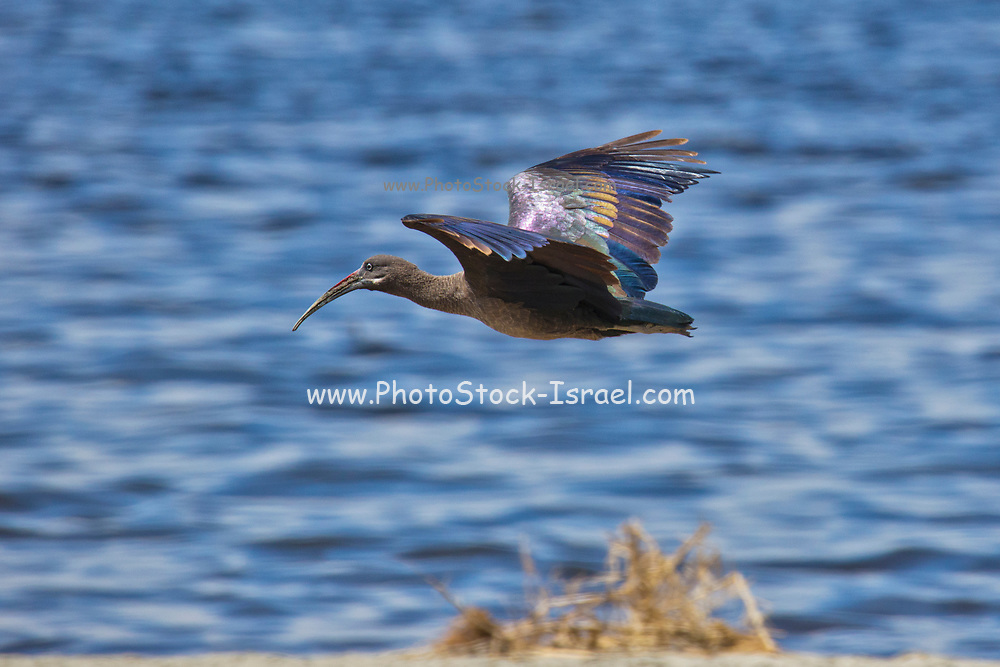 Hadeda ibis (Bostrychia hagedash) in flight. This is a wading bird with long legs, a long neck and a long bill for feeding on insects, crustaceans, spiders, snails, small lizards and earthworms. It inhabits grasslands, bushlands and shore edges where it forages on the ground for its prey. It is usually found in groups of 5-20 birds.