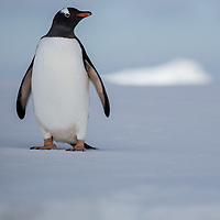 'Greeter' – Yalour Islands, Antarctica<br /> <br /> As we approached this piece of sheet ice in our zodiac, a single Gentoo penguin walked towards the edge to great us.  Placing himself between the zodiac and the rest of the colony, he continued to stand watch as we slowly motored away.