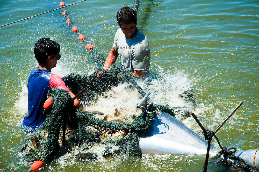 Israel, Coastal Plains, Kibbutz Maagan Michael, Harvesting fish from an intensive growing pool collecting the net and bringing the fish to the extraction tool. Frantic fish attempt to escape the net .