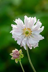 Anemone hupehensis var. japonica 'Tiki Sensation'. Japanese anemone