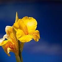 Yellow flowers taken while staying in Antigua, Guatemala  © John McBrayer 2013