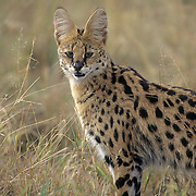 Serval (Felis serval) portrait in the Masai Mara National Reserve, Kenya, Africa.