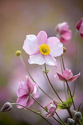 Anemone × hybrida 'Robustissima' syn. Anemone tomentosa 'Robustissima'