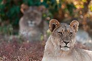 Lion (Panthera leo), Mashatu Game Reserve, Botswana.