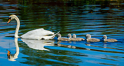 Recently hatched cygnets with their parents at the boating pond in Biggar, South Lanarkshire, Scotland<br /> <br /> (c) Andrew Wilson | Edinburgh Elite media