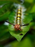 Lappet moth caterpillar, Sai Kung, Hong Kong, China.<br /> This Image is a part of the mission Wild Sea Hong Kong (Wild Wonders of China).