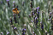 Plain Tiger butterfly (Danaus chrysippus) AKA African Monarch Butterfly rests on a flowering Lavender bush. Photographed in the Golan Heights, Israel