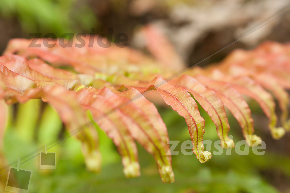 Curley Fern Leaf Tips by the track side.