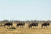 Blue wildebeest, Connochaetes taurinus taurinus, Limpopo, South Africa