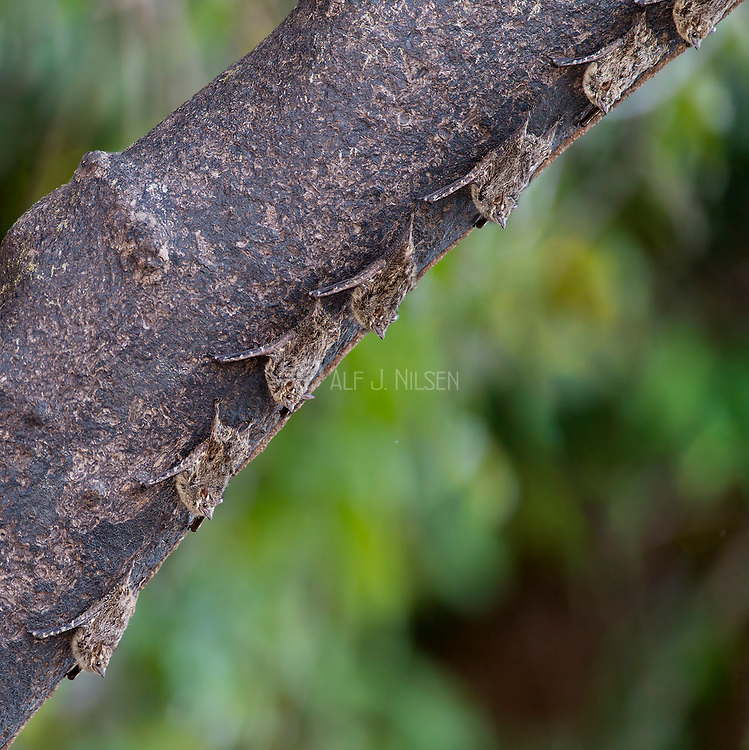 Proboscis bats (Rhynchonycteris naso) from Cristalino River, the Amazon.