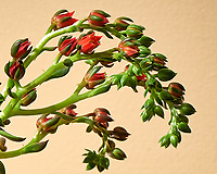 Succulent plant with a stalk and small red flowers. [Semlpervivum, Hen & Chicks?] Image taken with a Nikon D810a camera and 105 mm f/2.8 VR macro  (ISO 200, 105 mm, f/16, 1 sec). Raw image processed with Capture One Pro.