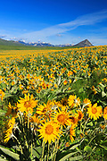 Arrow-leaved Balsamroot fills the fields at the Rocky Mountain Front, Montana.