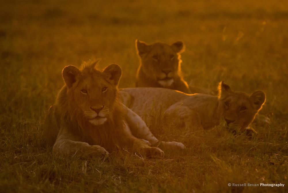 Three young lions at dawn in the Masai Mara National Park, Kenya