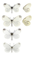 Wood White - Leptidea sinapis. Male 1st generation (top) - female 1st generation (second down) - male 2nd generation (third down) - female 2nd generation (bottom).