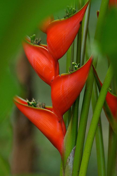 Costa Rica rain forest Crab Claw flower Costa Rica