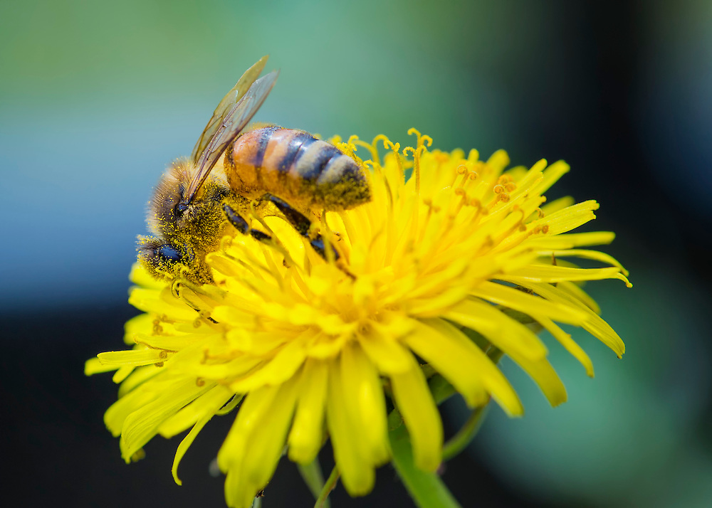 A Bee Gathers The Last OF The Pollen Before Winter Hits